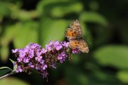Northern Crescent on Buddleia photo by Michelle Sharp