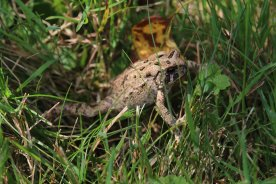American Toad photo by Michelle Sharp