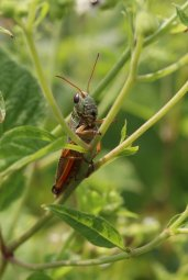 Red-legged Grasshopper photo by Michelle Sharp