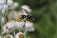Paper Wasp photo by Michelle Sharp