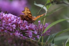 Estern Comma on Buddleis photo by Michelle Sharp