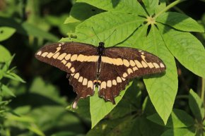 Giant Swallowtail on Bottlebrush Buckeye photo by Michelle Sharp