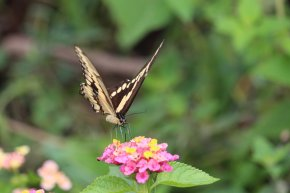 Giant Swallowtail on Lantana
