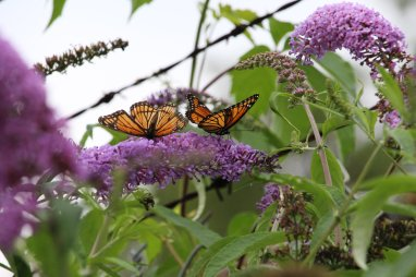 Viceroys on Buddleia photo by Michelle Sharp