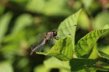 Unidentified Meadow Skimmer Dragonfly