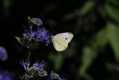 Cabbage White on Caryopteris