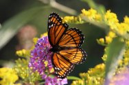Viceroy on Buddleia