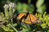 Viceroy on Goldenrod