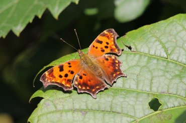 Eastern Comma on Grape Vine