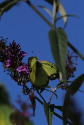 Orange Sulphur on Buddleia