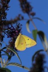 Sulphur on Buddleia