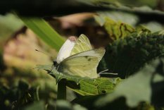 Cabbage White mating