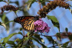 Monarch on Buddleia