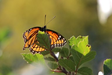 Viceroy on Fragrant Sumac