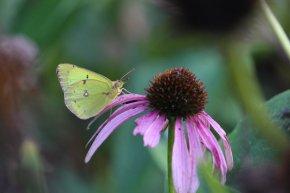 Sulphur on Echinacea