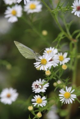 Cabbage White on Aster