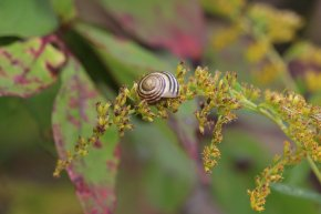 Grove Snail on Goldenrd