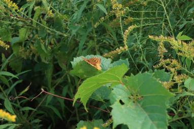 Great Spangled Fritillary on Grape Vine