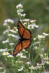 Viceroy on Aster