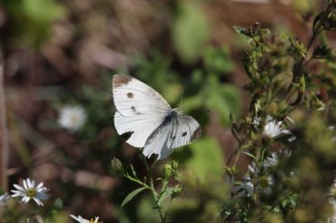 Cabbage White Aster