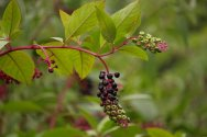 Giant Pokeweed