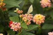 Cabbage White on Lantana