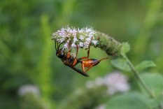 Golden Digger Wasp on Apple Ming