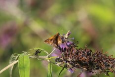 Peck's Skipper on Buddleia