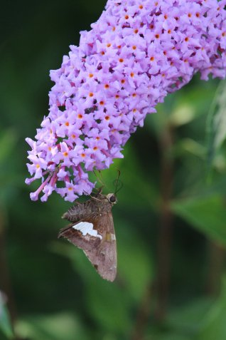 Silver-spotted Skipper on Buddleia