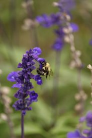 Bumblebee on Salvia Royal Blue