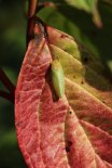Leafhopper on Dogwood
