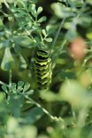 Black Swallowtail Caterpillar on Rue