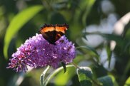 Milbert's Tortoiseshell on Buddleia
