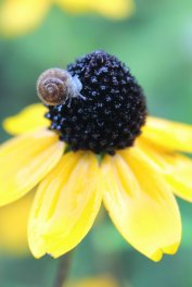 Grove Snail on Rudbeckia