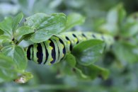 Black Swallowtail Caterpillar on Oregano