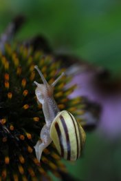 Grove Snail on Cone Flower