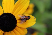 Bottle Fly on Rudbeckia Triloba