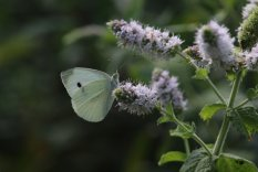 Cabbage White on Apple Mint