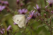 Cabbage White on New England Aster