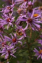 Honeybee on New England Aster