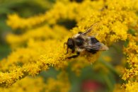 Bumblebee on Goldenrod
