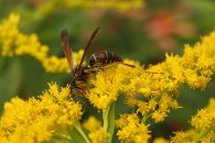 Paperwasp on Goldenrod