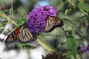 Monarchs on Buddleia