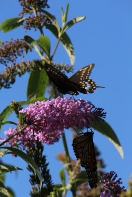 Black Swallowtail on Buddleia