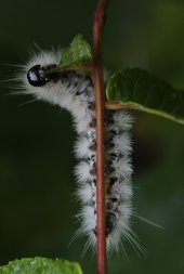 Hickory Tussock Moth on Dogwood