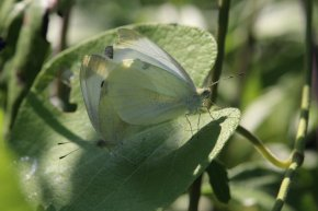 Cabbage White mating on Redbud leaf