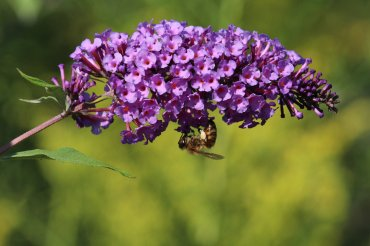 Honeybee on Buddleia