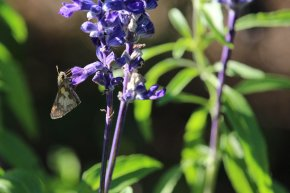 Peck's Skipper on Salvia