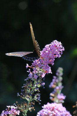 Red Spotted Purple on Buddleia