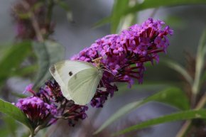 Cabbage White on Buddleia